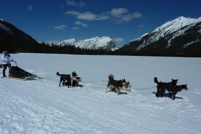 A101-sledge-dog
